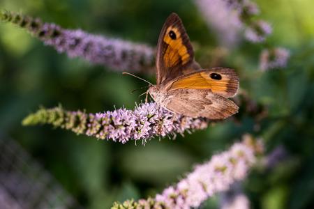 spearmint: Butterfly feeding on spearmint flower