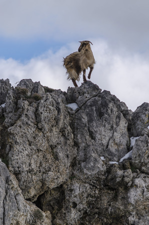 Goat balancing on rock