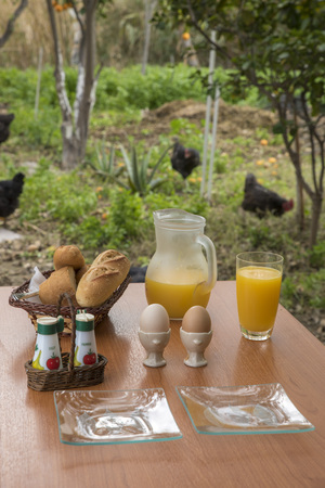 roaming: Breakfast setup in a farm with chickens roaming the place and around orange trees