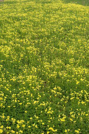 woodsorrel: Field full of African wood-sorrel flowers