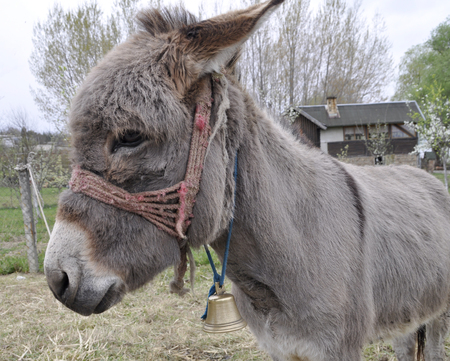 Donkey in the courtyard of the house in the spring Stock Photo
