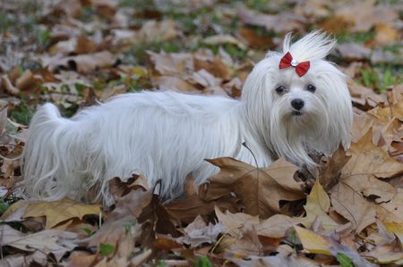 Small dog maltezer, in the autumn forest.