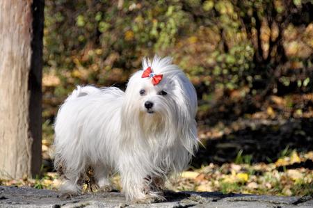 Kleiner Hundmaltezer, im Herbstwald.