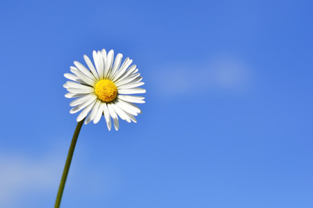 Field chamomile flower against the blue sky.