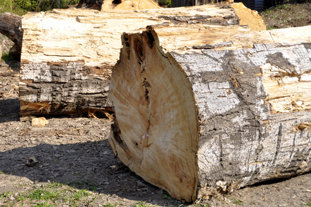 Part of the trunk of a large felled pine trees lying on the ground