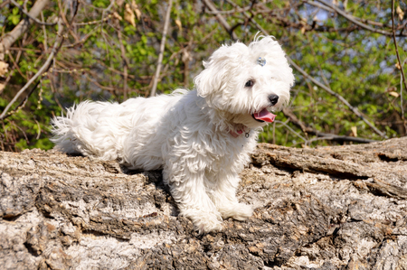 Maltese puppy dog on a wooden beam.