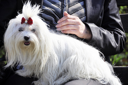 woman holding cute maltese dogs. in the park