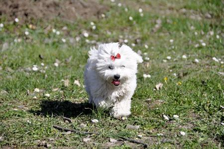 Small white Maltese dog outdoor.