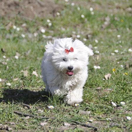 Kleiner Hundemälzer, im Herbstwald Standard-Bild