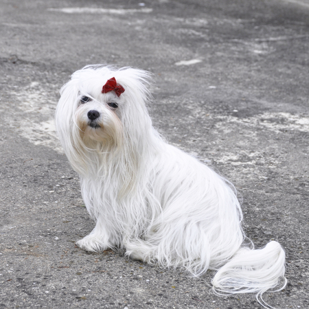 Small dog maltezer, in the autumn forest Banco de Imagens