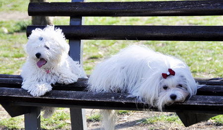 two maltese dogs posing on a park bench.