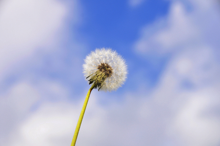 Testa del seme del dente di leone contro il cielo blu con le nuvole bianche. Bel dente di leone Archivio Fotografico