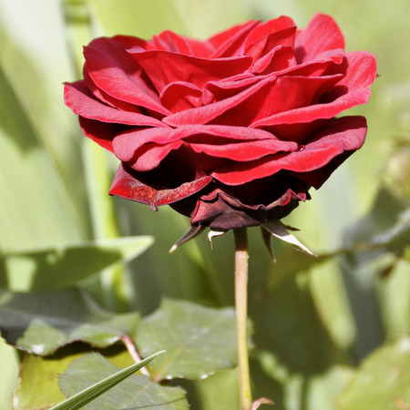 close up of red rose flower , selective focus