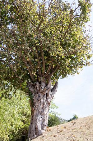 old olive tree,Old Monastery Zhytomislik, Mostar, Bosnia and Herzegovina