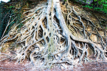 Exposed roots of this large tree are popular landmark in Greenville downtown Falls park on the Reedy in South Carolina