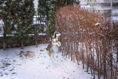 Young husky jumping up the bush provoked by the birds. He is happy about first real snow this winter
