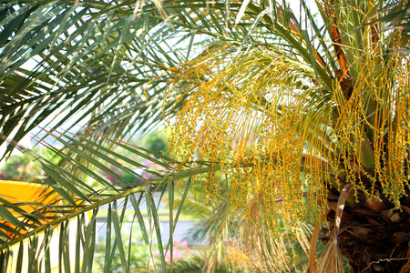 date palm: Close up of flowering Date Palm Tree. Young fruit palm trees, close-up.