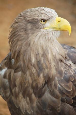 insular: eagle