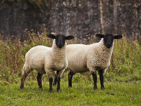 Two sheep staring at the camera photo