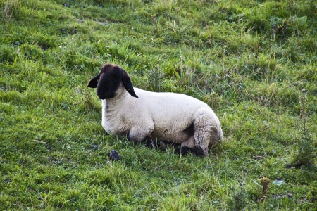 One sheep lying on the grass photo