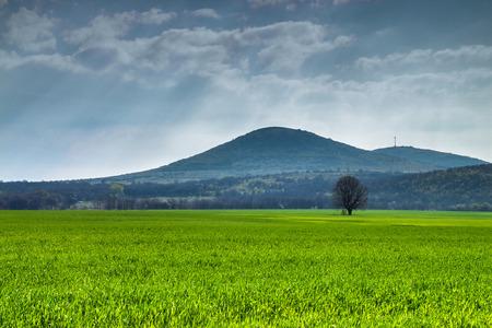 tsar: Wheat meadow and a tree near Tsar Asen village