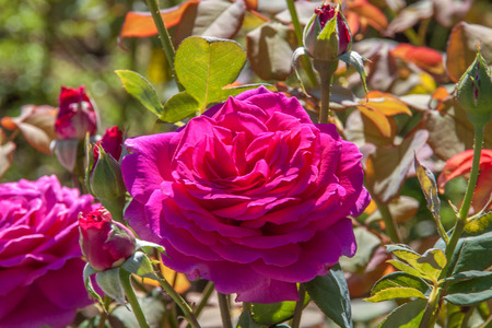 rosoideae: Pink Rose close-up in a garden