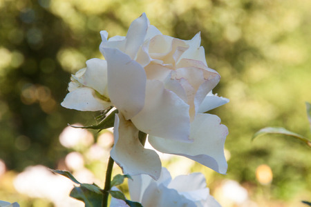 White rose blossoming in a garden Stock Photo