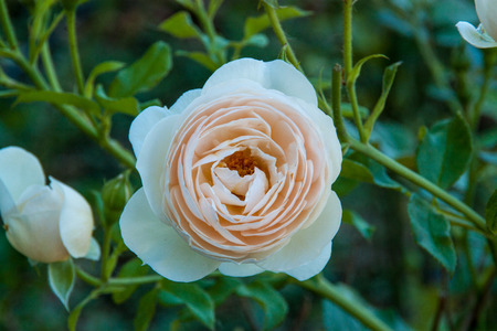 rosoideae: White rose blossoming in a garden Stock Photo