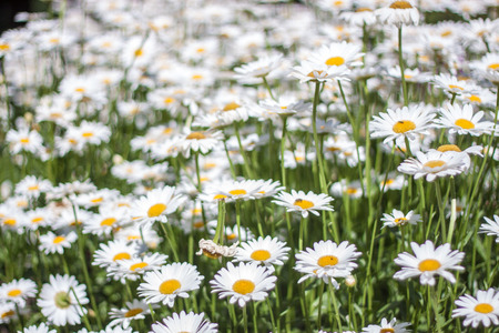 shasta daisy: Sea of Daisy flowers in a garden