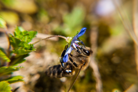 speedwell: Macro shot of a bee collecting pollen from a field speedwell flower