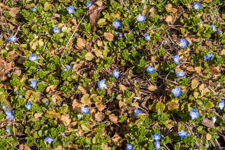 speedwell: Meadow area covered with blossoming blue field speedwell. The blue flowers are contrasting on the green grass.