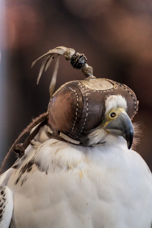 blindfold: Portrait of a falcon with a leather blindfold