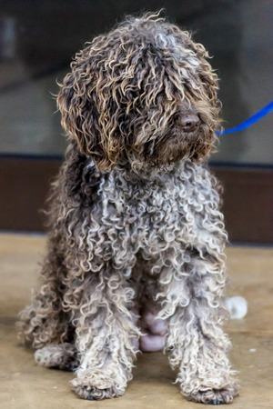 Portrait of a curly Portuguese water dog photo