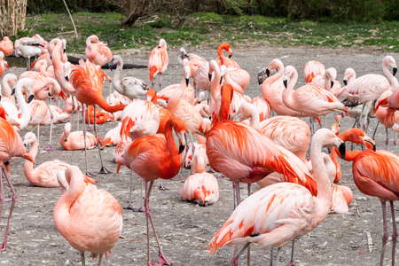 togheter: Lots of American and Chilean flamingos living togheter Stock Photo