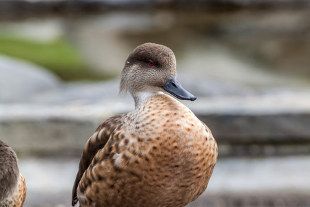 crested duck: Portrait of a Patagonian crested duck