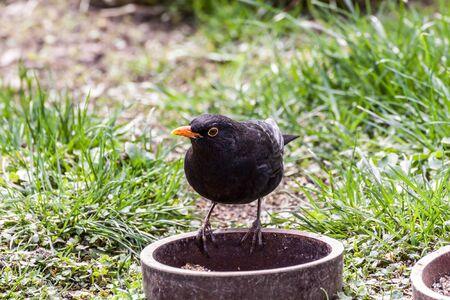 corax: Common black bird in its own habitat Stock Photo