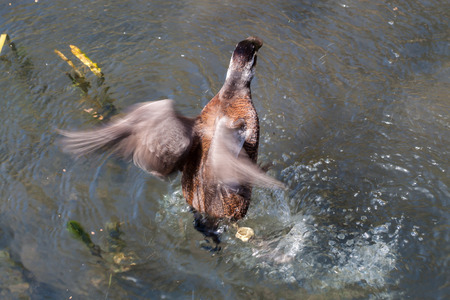 flapping: Duck flapping its wings and trying to fly off