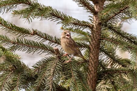 greenfinch: European greenfinch sitting on a coniferous tree
