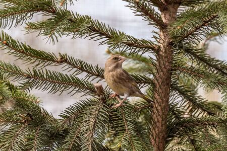 greenfinch: European greenfinch sitting on a coniferous tree