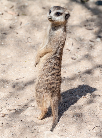 Picture of a meerkat on a lookout