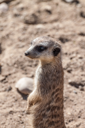 lookout: Picture of a meerkat on a lookout