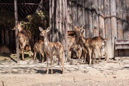 capreolus: Couple of roe deers eating hay