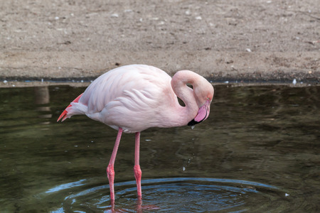 greater: Greater flamingo drinking water