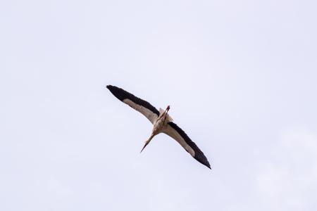 spreaded: White stork in flight with spreaded wings