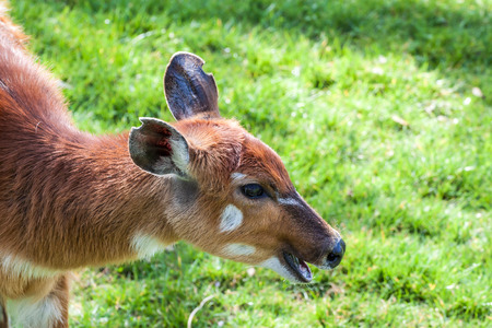 bongo: Closeup portrait of a Bongo antelope