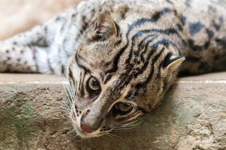 prionailurus: Closeup portrait of a Fishing Cat