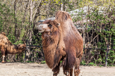 one humped: Two humped camel eating some hay Stock Photo