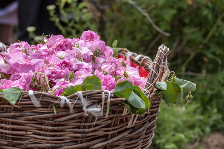 Bascket filled with Bulgarian pink roses Stock Photo