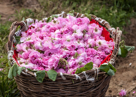 Bascket filled with Bulgarian pink roses