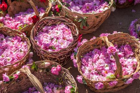 ピンクのバラはブルガリアでいっぱいバスケット 写真素材